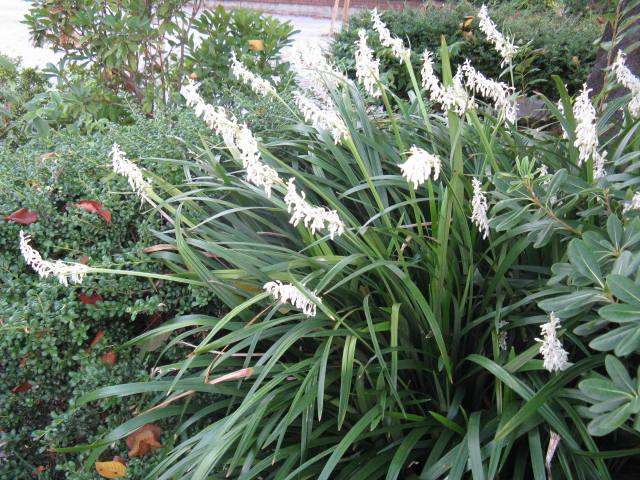 シラン (植物)の画像 p1_16