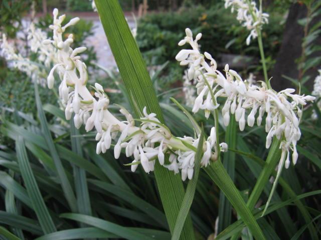 シラン (植物)の画像 p1_36