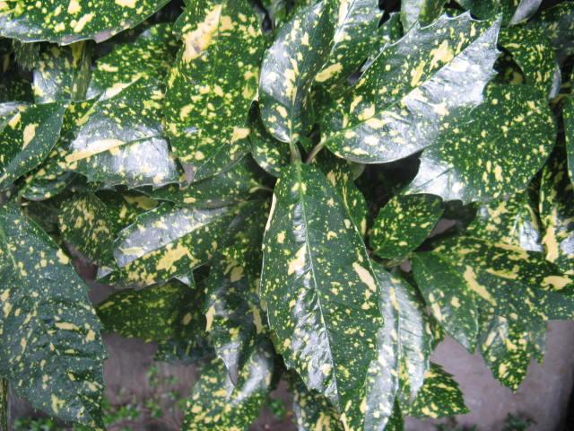 アオキ (植物)の画像 p1_16