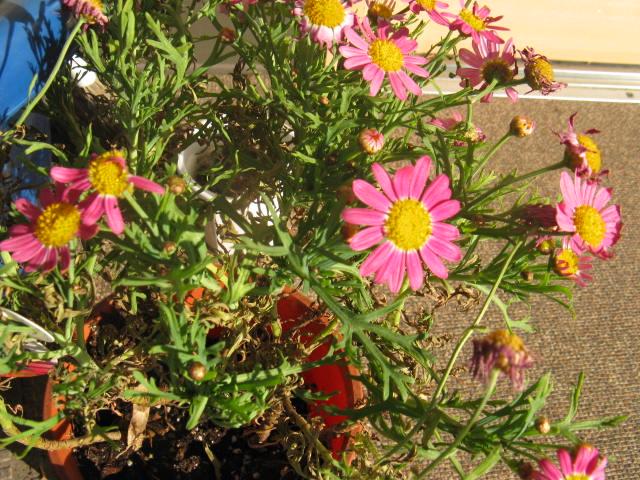 マーガレット (植物)の画像 p1_32