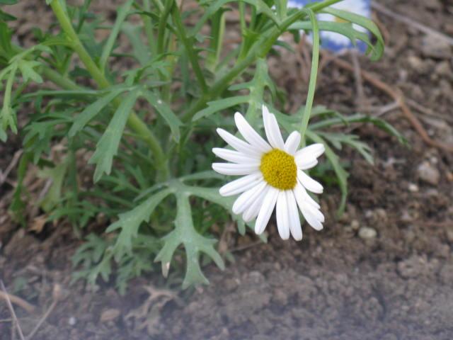 マーガレット (植物)の画像 p1_40
