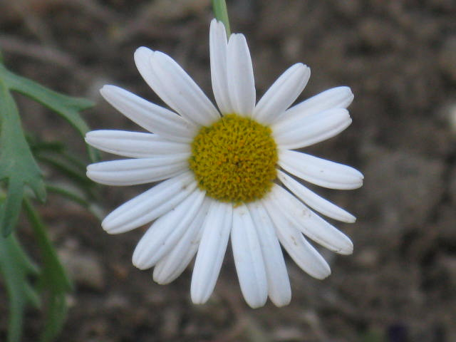 マーガレット (植物)の画像 p1_26