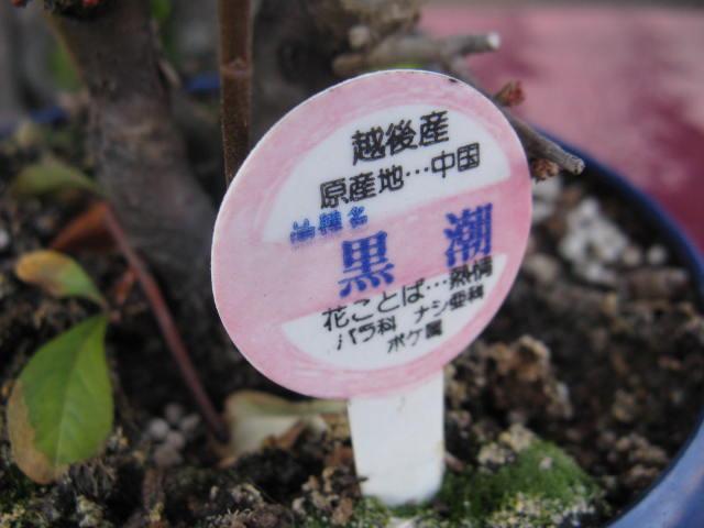 ボケ (植物)の画像 p1_4