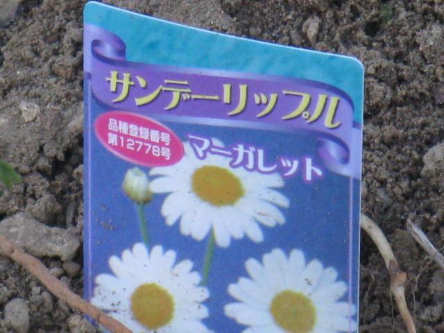 マーガレット (植物)の画像 p1_8