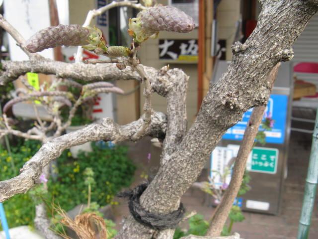 フジ (植物)の画像 p1_20