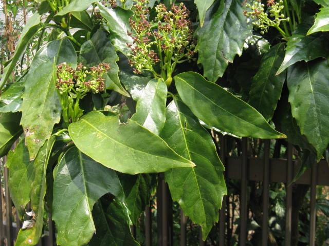 アオキ (植物)の画像 p1_11