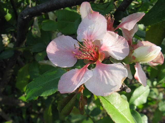 ボケ (植物)の画像 p1_2