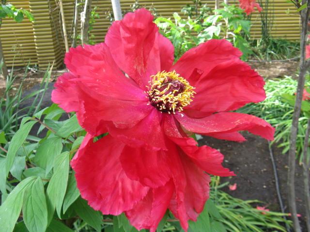 ボタン (植物)の画像 p1_23