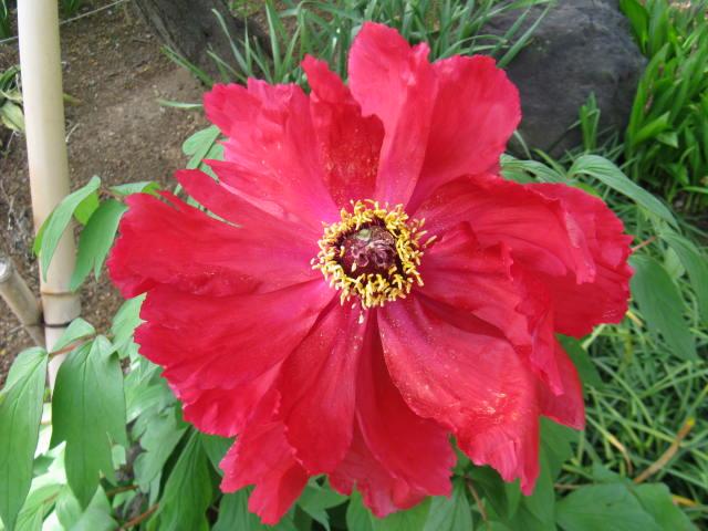 ボタン (植物)の画像 p1_14