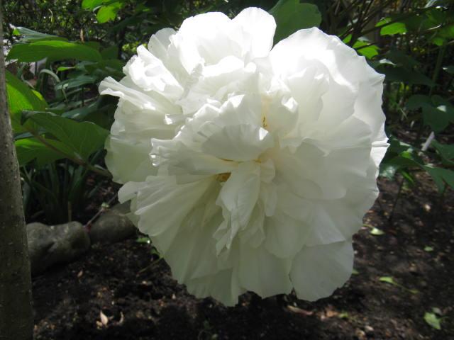 ボタン (植物)の画像 p1_11