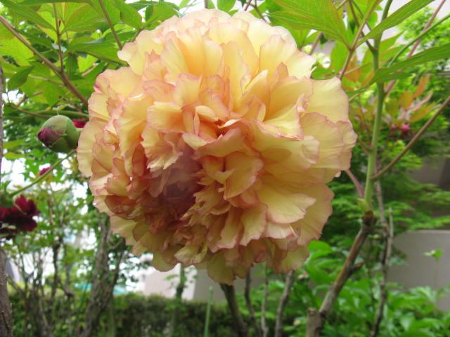 ボタン (植物)の画像 p1_31