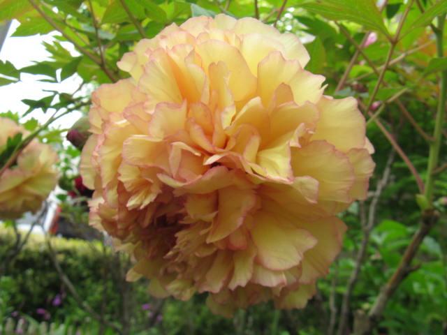 ボタン (植物)の画像 p1_40