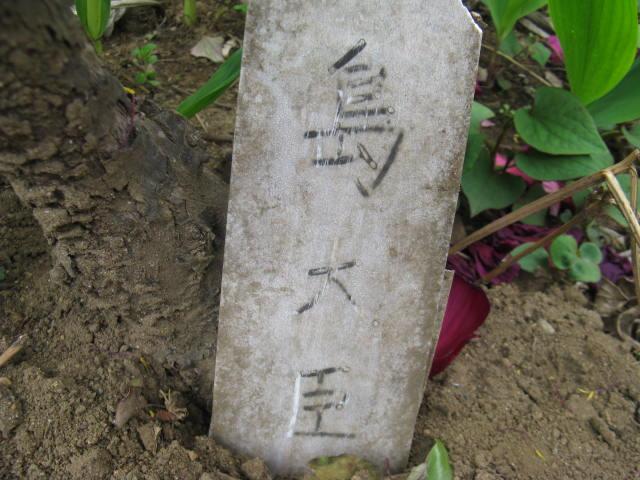 ボタン (植物)の画像 p1_21