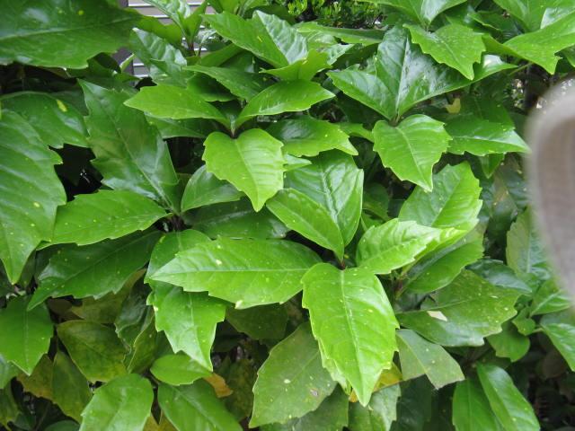 アオキ (植物)の画像 p1_9