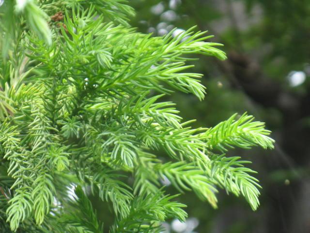 植物編のスギ科のスギ