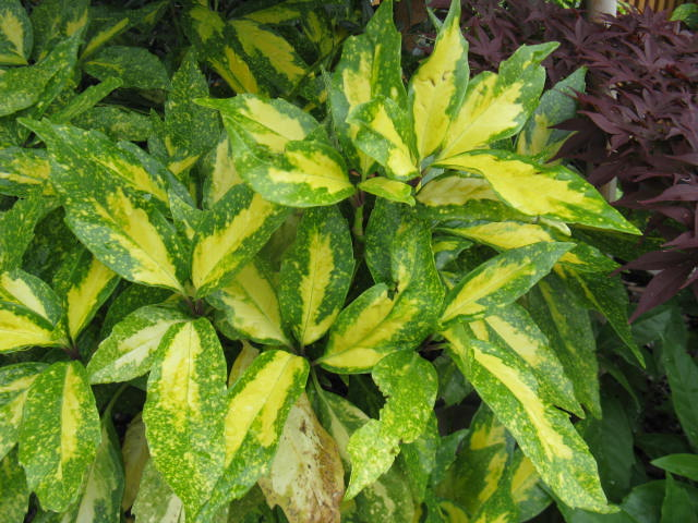 アオキ (植物)の画像 p1_8
