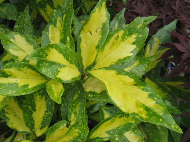 アオキ (植物)の画像 p1_14