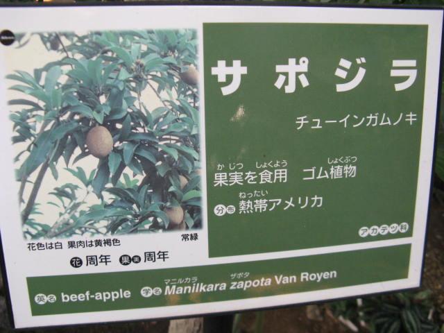 植物編のアカテツ科のサポジラ