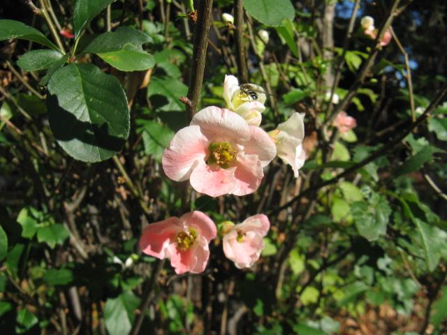 ボケ (植物)の画像 p1_38
