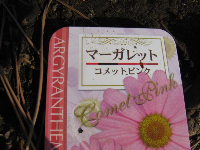 マーガレット (植物)の画像 p1_12