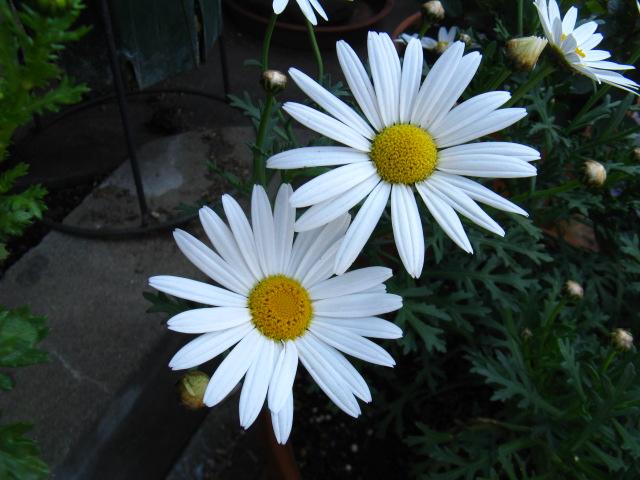マーガレット (植物)の画像 p1_36