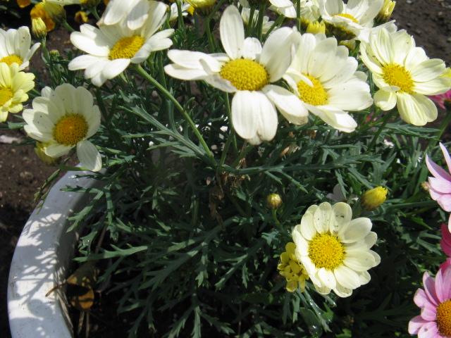 マーガレット (植物)の画像 p1_11