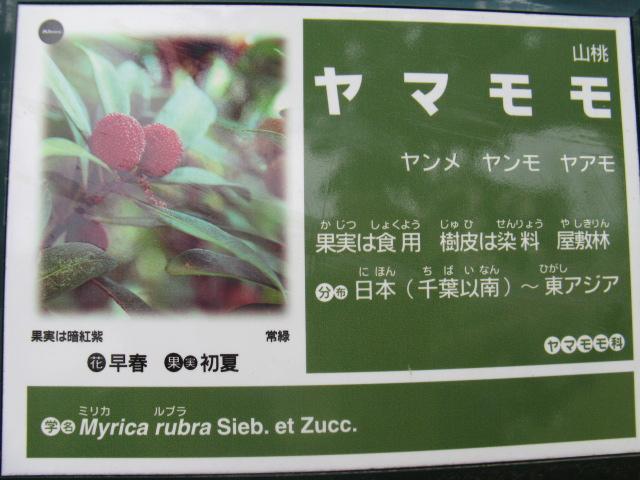 植物編のヤマモモ科のヤマモモ