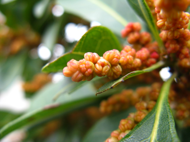 ヤマモモ科 - Myricaceae