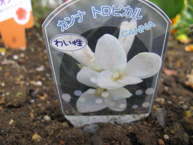 カンナ (植物)の画像 p1_2