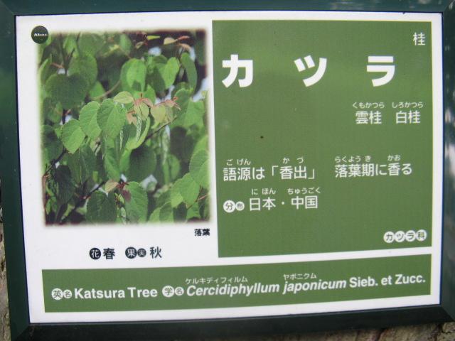 カツラ (植物)の画像 p1_35