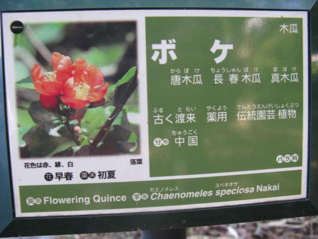 ボケ (植物)の画像 p1_3