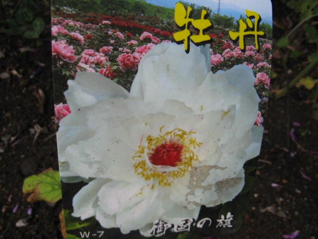 ボタン (植物)の画像 p1_15
