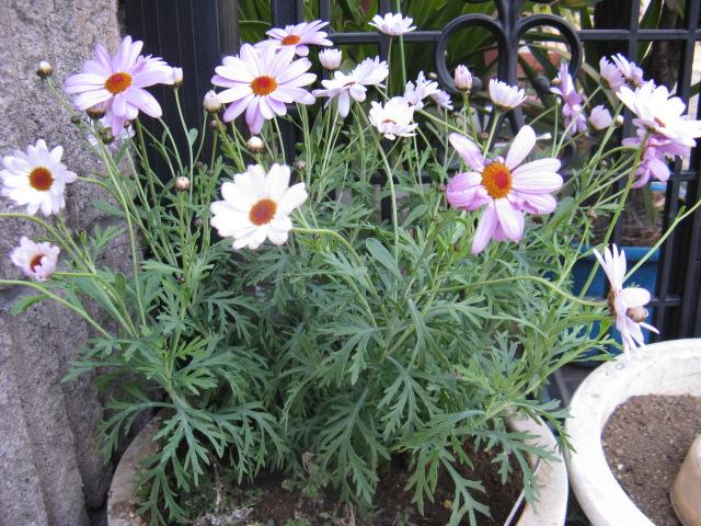 マーガレット (植物)の画像 p1_37