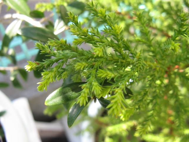 ゴールドクレスト (植物)の画像 p1_8