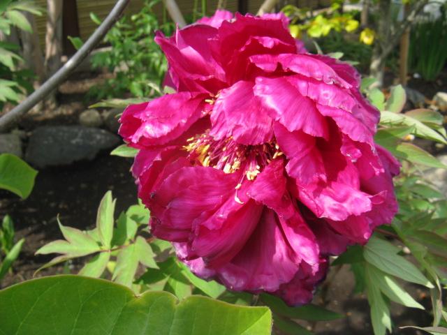 ボタン (植物)の画像 p1_35