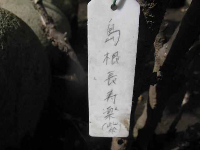 ボタン (植物)の画像 p1_8