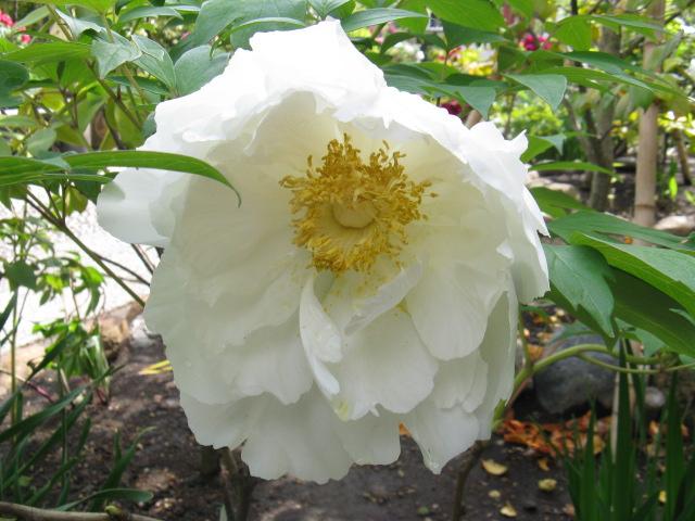ボタン (植物)の画像 p1_26