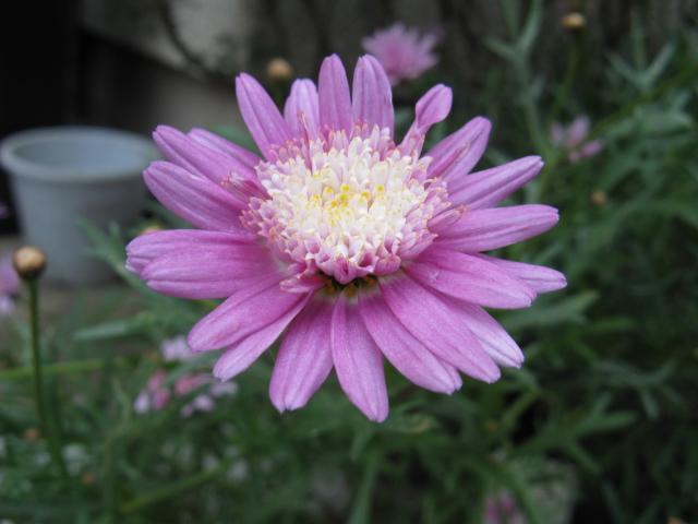 マーガレット (植物)の画像 p1_18