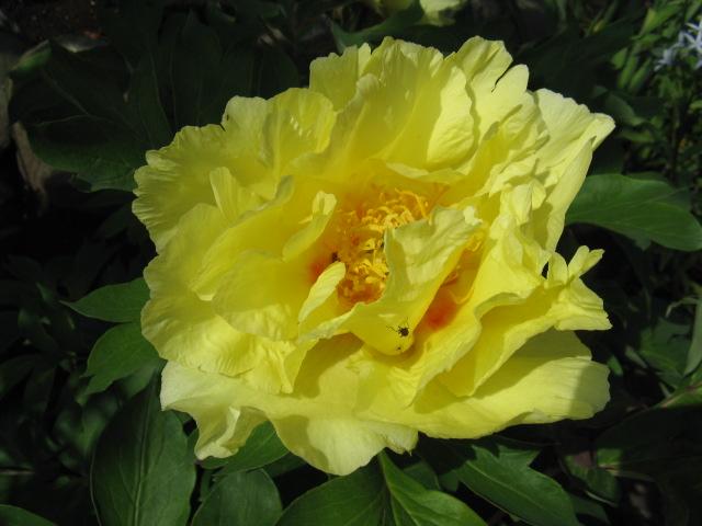 ボタン (植物)の画像 p1_20