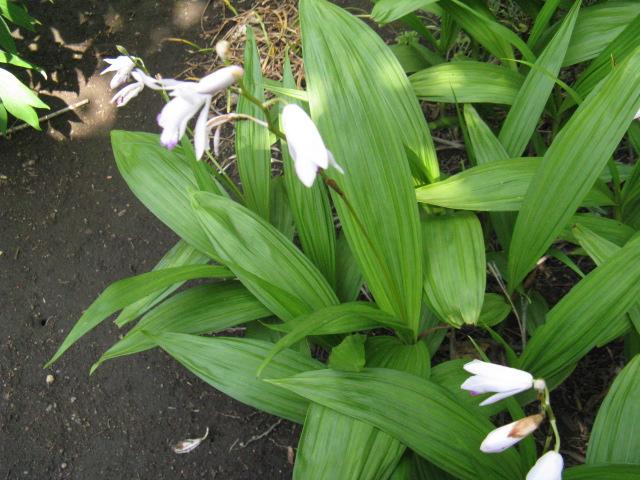 シラン (植物)の画像 p1_21