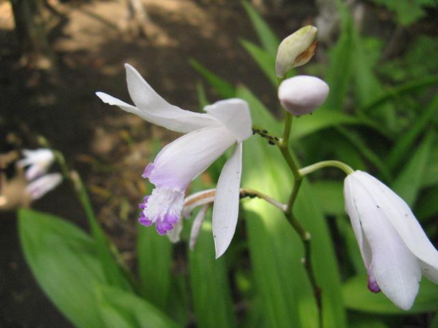 シラン (植物)の画像 p1_8