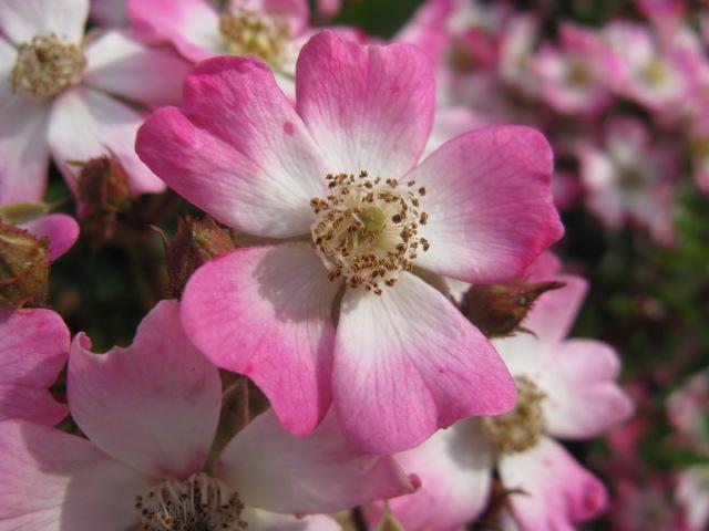 植物編のバラ科のサクラバラ(桜薔薇) 植物編のバラ科のサクラバラ TOP > 植物科一覧