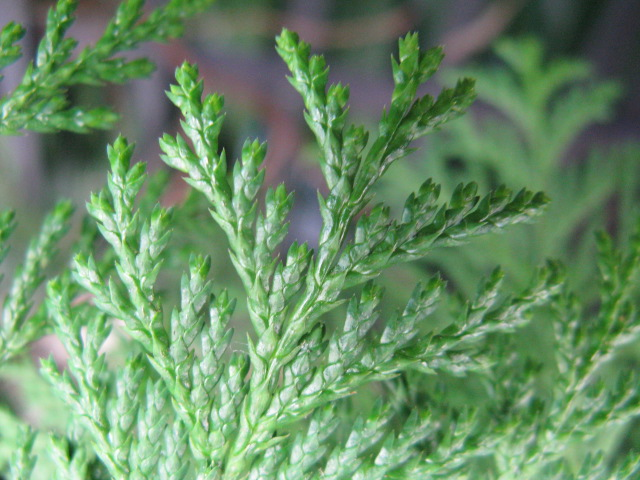 サワラ (植物)の画像 p1_4