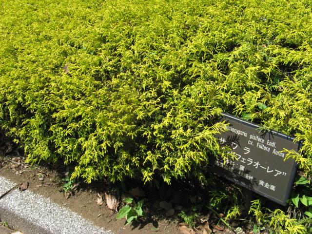 サワラ (植物)の画像 p1_14