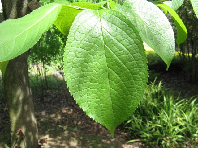 植物編のトチュウ科のトチュウ