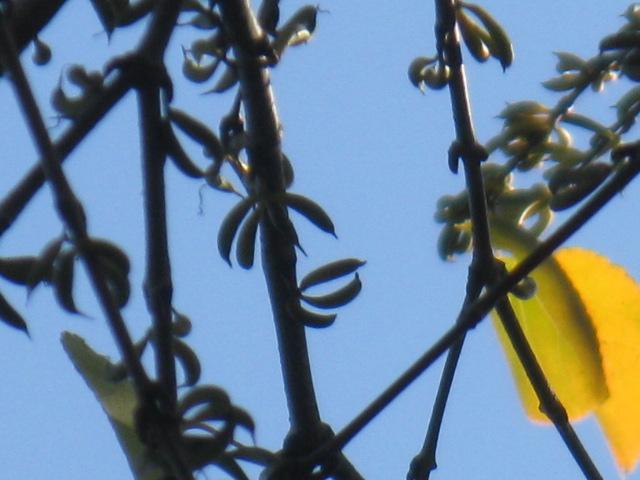 カツラ (植物)の画像 p1_1