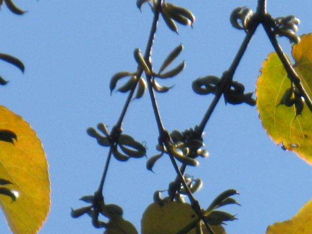 カツラ (植物)の画像 p1_2